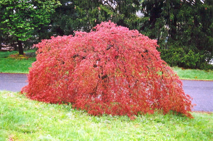Weeping Anese Maple