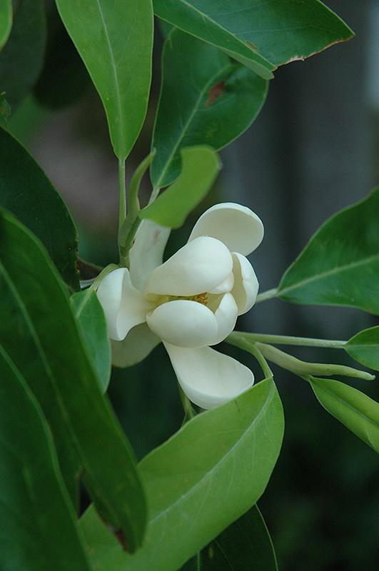 Sweetbay Magnolia Magnolia Virginiana In Kansas City Overland Park