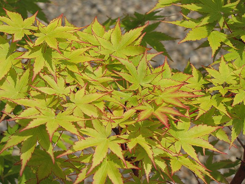 C Bark Anese Maple Acer Palmatum Sango Kaku At Family Tree Nursery