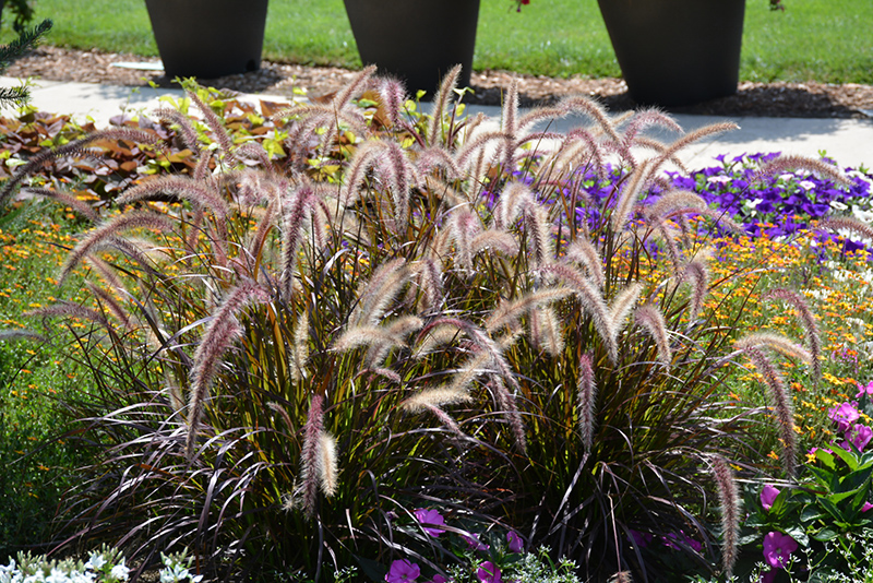Red Riding Hood Purple Fountain Grass Pennisetum Setaceum Red