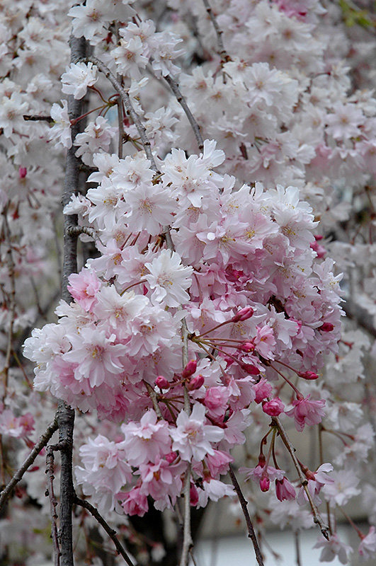 Double Pink Weeping Higan Cherry