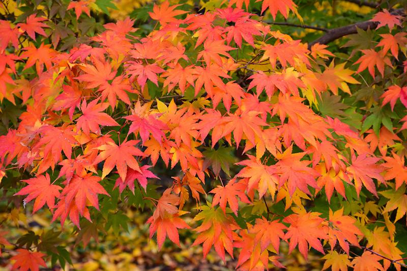 Japanese Maple Acer Palmatum In Kansas City Overland Park