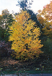Katsura Tree (Cercidiphyllum japonicum) at Family Tree Nursery
