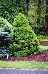Dwarf Alberta Spruce (Picea glauca 'Conica') at Family Tree Nursery