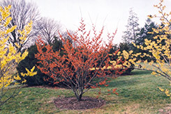 Diane Witchhazel (Hamamelis x intermedia 'Diane') at Family Tree Nursery
