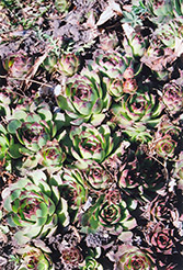 Kalinda Hens And Chicks (Sempervivum 'Kalinda') at Family Tree Nursery