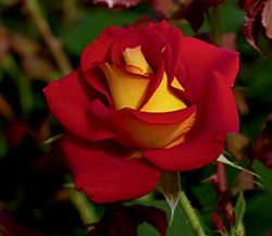 Ketchup And Mustard Rose (Rosa 'WEKzazette') at Family Tree Nursery