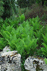 Ostrich Fern (Matteuccia struthiopteris) at Family Tree Nursery