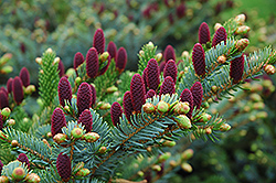 Red Cone Spruce (Picea abies 'Acrocona') at Family Tree Nursery
