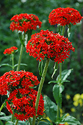 Maltese Cross (Lychnis chalcedonica) at Family Tree Nursery