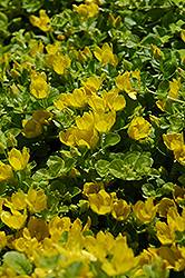 Creeping Jenny (Lysimachia nummularia) at Family Tree Nursery