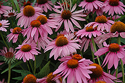 Magnus Coneflower (Echinacea purpurea 'Magnus') at Family Tree Nursery