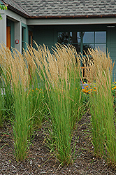 Karl Foerster Reed Grass (Calamagrostis x acutiflora 'Karl Foerster') at Family Tree Nursery