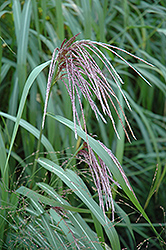 Maiden Grass (Miscanthus sinensis) at Family Tree Nursery