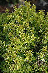 Golden Nugget Japanese Barberry (Berberis thunbergii 'Golden Nugget') at Family Tree Nursery