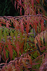 Tiger Eyes® Sumac (Rhus typhina 'Bailtiger') at Family Tree Nursery
