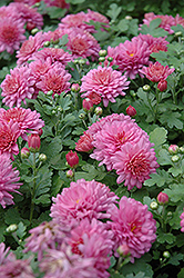 Ursula Chrysanthemum (Chrysanthemum 'Ursula') at Family Tree Nursery
