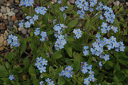 Forget-Me-Not (Myosotis sylvatica) at Family Tree Nursery