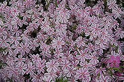Candy Stripe Moss Phlox (Phlox subulata 'Candy Stripe') at Family Tree Nursery