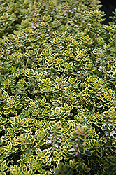 Lemon Thyme (Thymus x citriodorus) at Family Tree Nursery