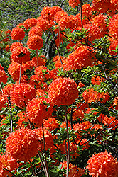 Mandarin Lights Azalea (Rhododendron 'Mandarin Lights') at Family Tree Nursery