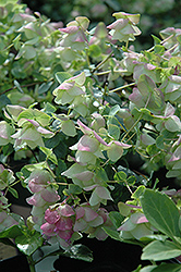 Kent Beauty Oregano (Origanum rotundifolium 'Kent Beauty') at Family Tree Nursery