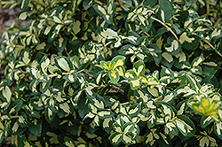 Moonshadow Wintercreeper (Euonymus fortunei 'Moonshadow') at Family Tree Nursery