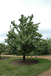 20th Century Pear (Pyrus pyrifolia 'Nijisseiki') at Family Tree Nursery