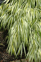 Golden Variegated Hakone Grass (Hakonechloa macra 'Aureola') at Family Tree Nursery