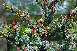 Howell's Dwarf Tigertail Spruce (Picea bicolor 'Howell's Dwarf Tigertail') at Family Tree Nursery