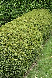 Green Gem Boxwood (Buxus 'Green Gem') at Family Tree Nursery