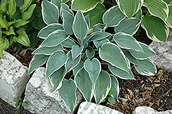 El Nino Hosta (Hosta 'El Nino') at Family Tree Nursery