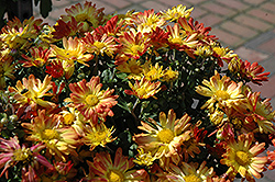 Dazzling Stacy Chrysanthemum (Chrysanthemum 'Dazzling Stacy') at Family Tree Nursery