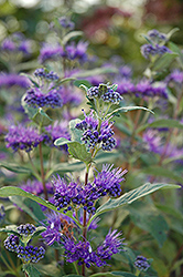 Dark Knight Caryopteris (Caryopteris x clandonensis 'Dark Knight') at Family Tree Nursery