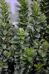 Green Spire Euonymus (Euonymus japonicus 'Green Spire') at Family Tree Nursery