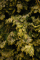 Golden Hinoki Falsecypress (Chamaecyparis obtusa 'Aurea') at Family Tree Nursery