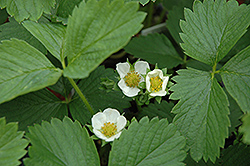 Ozark Beauty Strawberry (Fragaria 'Ozark Beauty') at Family Tree Nursery