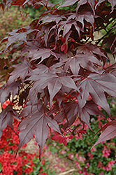 Bloodgood Japanese Maple (Acer palmatum 'Bloodgood') at Family Tree Nursery