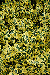 Emerald 'n' Gold Wintercreeper (Euonymus fortunei 'Emerald 'n' Gold') at Family Tree Nursery