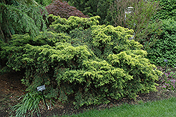 Saybrook Gold Juniper (Juniperus x media 'Saybrook Gold') at Family Tree Nursery