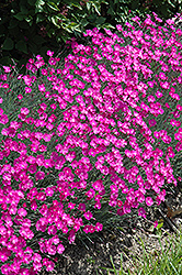 Firewitch Pinks (Dianthus gratianopolitanus 'Firewitch') at Family Tree Nursery