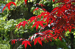 Emperor I Japanese Maple (Acer palmatum 'Wolff') at Family Tree Nursery