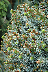 Papoose Dwarf Sitka Spruce (Picea sitchensis 'Papoose') at Family Tree Nursery
