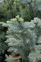 Candicans White Fir (Abies concolor 'Candicans') at Family Tree Nursery