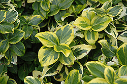 Gold Prince Wintercreeper (Euonymus fortunei 'Gold Prince') at Family Tree Nursery