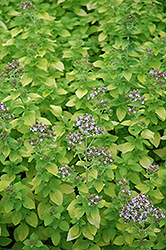 Golden Oregano (Origanum vulgare 'Aureum') at Family Tree Nursery
