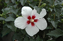 Lil' Kim® Rose of Sharon (Hibiscus syriacus 'Antong Two') at Family Tree Nursery