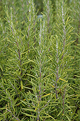Upright Rosemary (Rosmarinus officinalis 'Upright') at Family Tree Nursery