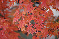 Lions Head Japanese Maple (Acer palmatum 'Shishigashira') at Family Tree Nursery