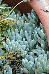 Blue Chalk Sticks Senecio (Senecio serpens 'Blue Chalk Sticks') at Family Tree Nursery